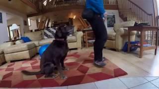 Video Teaching my dog to mimic my behaviors MP3, 3GP, MP4, WEBM, AVI, FLV Mei 2017