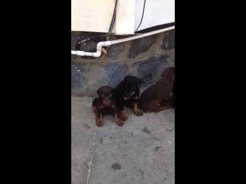 Doberman Pincher puppies
