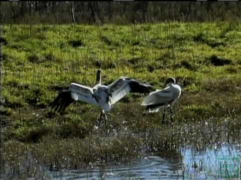Whooping - [cc] The 5-foot-tall whooping crane is the tallest bird in North America and among the rarest. A small flock of whoopers winters on the Aransas National Wild...