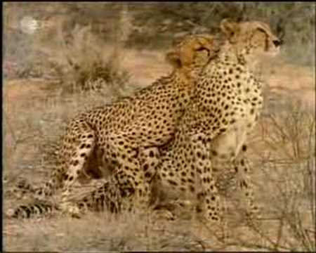 cheetahs mating complex mating rituals of chimpanzees in the jungleLion Mating With Cheetah