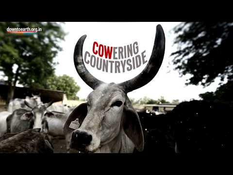 Cowering countryside: The effect of cow vigilantism in India's agriculture sector