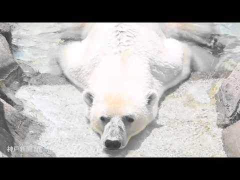 猛暑日のホッキョクグマ