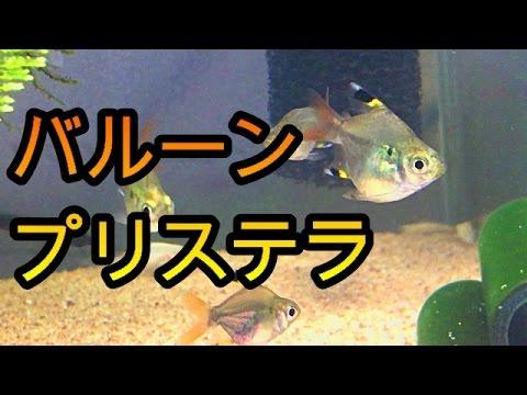 【アクアリウム】30センチcube水槽 チビコリの成長と新しい仲間(バルーン・プリステラ)