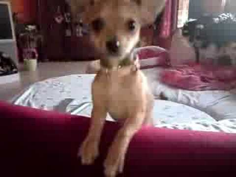 Lillith,tiny cute mini chihuahua baby girl at home