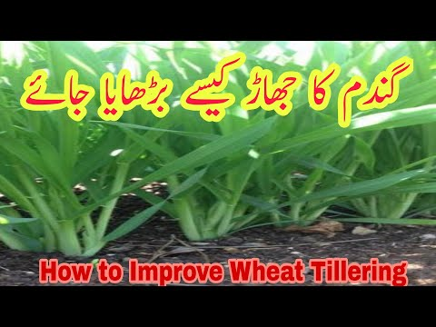 How to increase tillering in Wheat crop | How to improve number of tillers in Wheat field | Urea Use