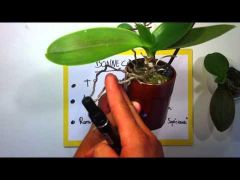 comment soigner orchidée malade