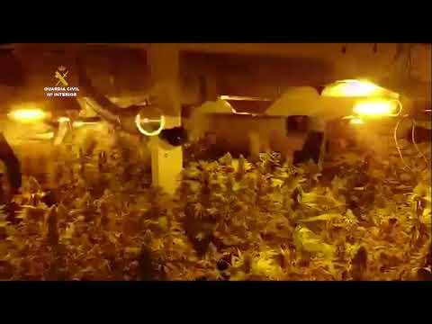Operación Bark: desmantelan una plantación indoor de cannabis en A Coruña.