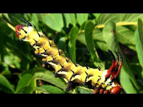 Weird and Beautiful Caterpillars around the world 2014 HD 1080p