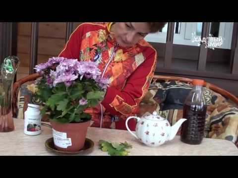 что делать когда отцветает хризантема