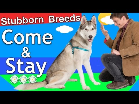 "How To Train Come And Stay To A ""Stubborn Breed"" Dog"