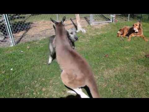 Un Perro Y Un Canguro Juegan Juntos: Imaginaban Que Podrian Comportarse Asi?