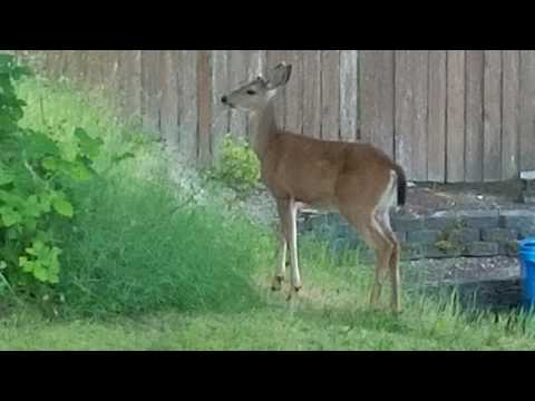 Video Cat vs Deer ! download in MP3, 3GP, MP4, WEBM, AVI, FLV January 2017