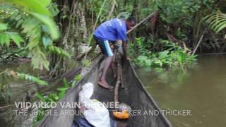 Susa and Masa go boar hunting in the jungle of Papua New Guinea. The hunters with spears, bows and dogs are today extremely...