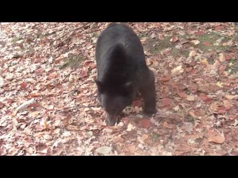 Lady in the woods provokes bear into a bluff charge. Turns out some black bears are not all that dangerous if you stand your ground.