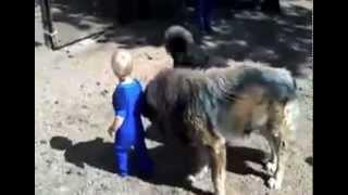 Nonton Tibetan mastiffs - Gentle Giants Film Subtitle Indonesia Streaming Movie Download