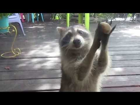 Raccoon Has Come Up With A Funny And Annoying Way To Get A Humans Attention. The Result? Effective