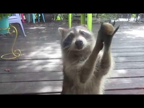 這隻浣熊用了一個超可愛的方式討食物,看過之後我的笑容已經無法關機了!