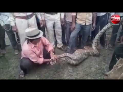 Big python swallowed a goat at Sagar madhya Pradesh | Viral Video