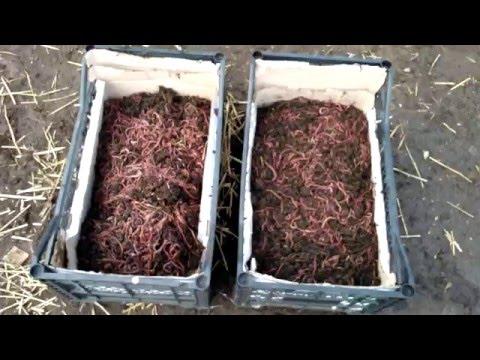 как разводить в огороде червей для рыбалки