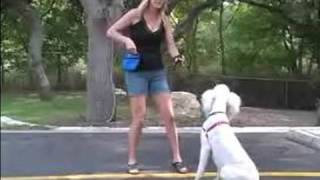 How To Train A Poodle : Teach Your Poodle To Stay Using These Dog Obedience Training Tips