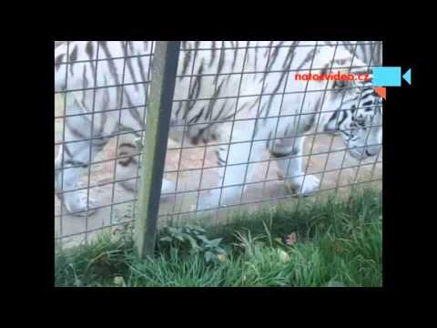 Bílí tygři bengálští v zoo Dvorec u Borovan 1.11.2015