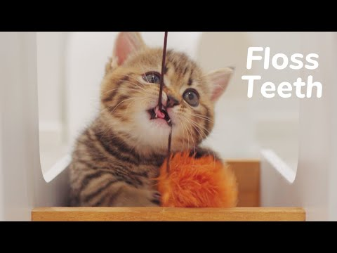 Baby Kitten Flossing Teeth - Day 49 @ Baby Kittens Day 1 to Day 100 Lucky Paws Vlogs