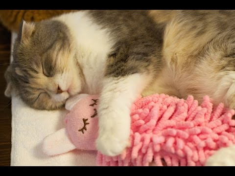 Sleepy cat hugs a doll