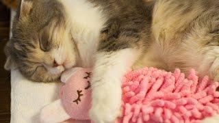 人形を抱きしめる可愛い猫 Cute Cat Hugs Doll - YouTube