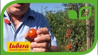 Resistente Cherry-Freilandtomaten am Beispiel