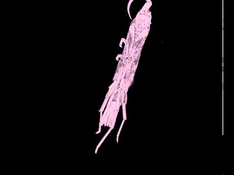Micro-CT scan of the amphipod Orchestia xylino