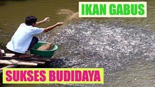 Video Ternak Ikan Gabus Di Kolam Terpal, Drum Maupun Beton Terbaru [Panduan Lengkap] MP3, 3GP, MP4, WEBM, AVI, FLV Desember 2018