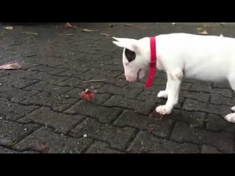 bull terrier plays with crab