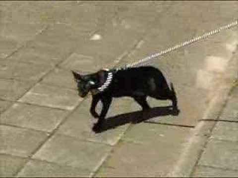 Ориентальная кошка видео