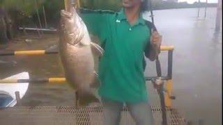 Download Video Mancing Black Bass 6 Kg Dengan Umpan Udang Hidup # Mancing Mania Ikan Besar MP3 3GP MP4