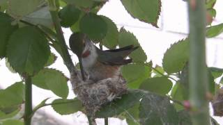 Female Allen's Hummingbird Nest Building Canon HF100 HD V13922