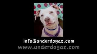 CHA CHA - Pit Bull Terrier / Labrador Retriever / Mixed (short coat) Dog For Adoption