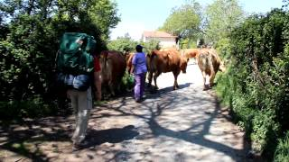 Arzua Spain  city pictures gallery : El Camino-3 - More Herding Cows Along the Camino
