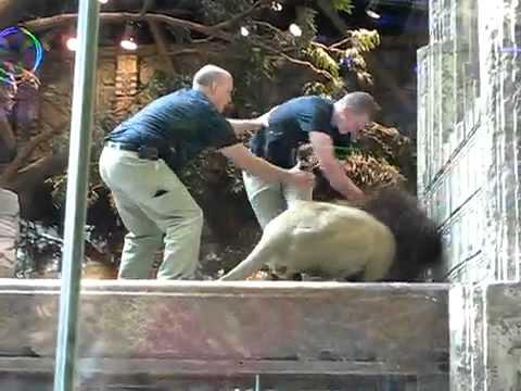 Un lion attaque son dresseur !