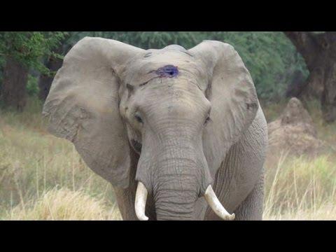 大象被子彈射中卡在額頭,但牠並沒有因此而絕望,反而是…