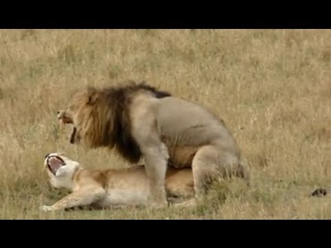Lion Sex - As Quick As A King