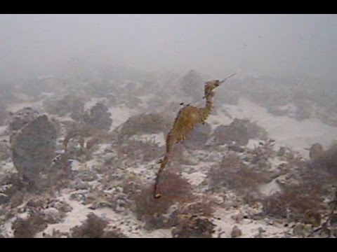 Ruby Seadragon First Glimpse In The Wild