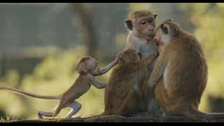 Monkey Kingdom 2015  2015  With Tina Fey  Narrator  Voice  Movie