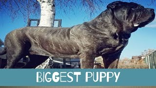 The World's Biggest Puppy Is Already Over Six Feet Tall And She's Still Growing by Did You Know Animals?