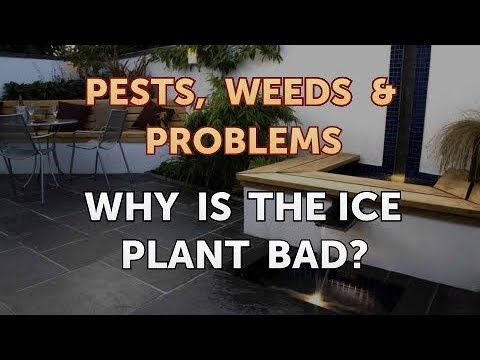 Why Is the Ice Plant Bad?