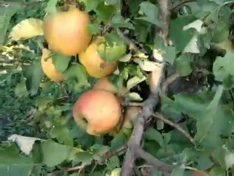 Яблуня,Мавка.