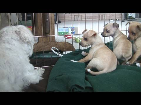 Chihuahua Puppies Startled By Dog's Bark (in HD)