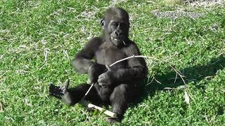 Baby Gorilla Shufai Having Fun With A Tree Branch