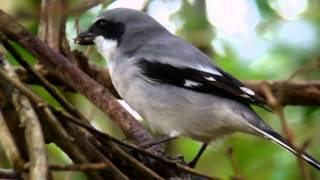 Video Loggerhead Shrike eating a Swainson's Warbler MP3, 3GP, MP4, WEBM, AVI, FLV Agustus 2018