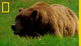 Video Man Fights Bear | National Geographic MP3, 3GP, MP4, WEBM, AVI, FLV Juli 2017