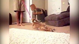 animale cainele nu vrea la plimbare